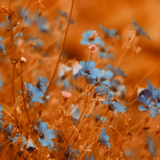 Blue Flowers Field - Obrázkek zdarma pro 128x128