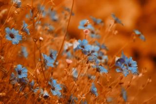 Blue Flowers Field - Obrázkek zdarma pro 1366x768