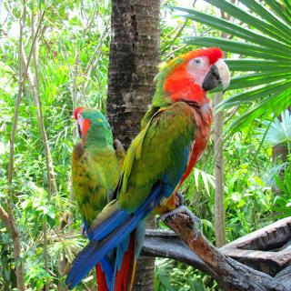 Macaw parrot Amazon forest - Obrázkek zdarma pro iPad