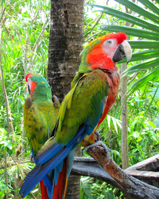 Free Macaw parrot Amazon forest Picture for Nokia Asha 303