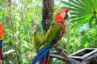 Macaw parrot Amazon forest - Obrázkek zdarma pro 1366x768