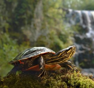 Brown Turtle - Obrázkek zdarma pro 320x320
