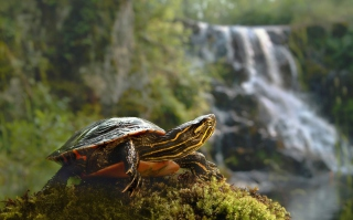 Brown Turtle Picture for Android, iPhone and iPad