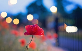Poppy Flower And Blue Bokeh Wallpaper for Android, iPhone and iPad