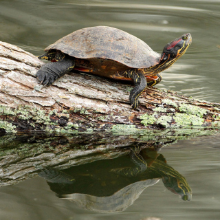 Turtle On The Log - Obrázkek zdarma pro 320x320