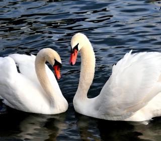Two Beautiful Swans - Obrázkek zdarma pro 320x320