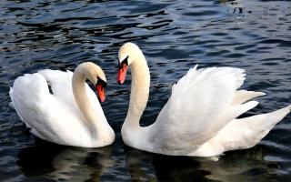 Two Beautiful Swans - Obrázkek zdarma pro Nokia X5-01
