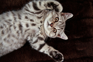 British Shorthair Wallpaper for Android, iPhone and iPad