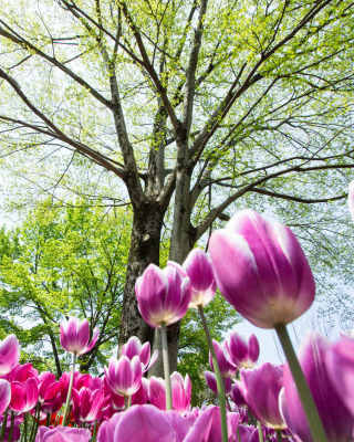 Bokeh Tulips Field - Obrázkek zdarma pro 240x400