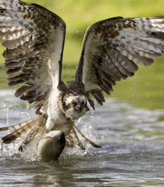 Sea Hawk - Obrázkek zdarma pro Nokia Asha 311
