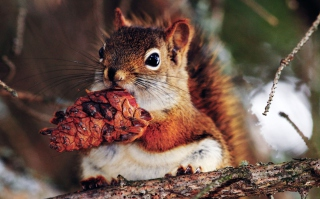 Squirrel And Cone Wallpaper for Android, iPhone and iPad