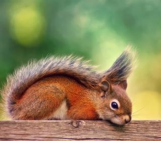 Little Squirrel - Obrázkek zdarma pro 320x320