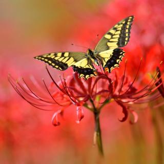 Macro Butterfly and Red Flower - Obrázkek zdarma pro 128x128