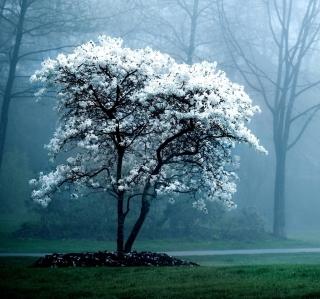 White Magnolia Tree - Obrázkek zdarma pro 1024x1024