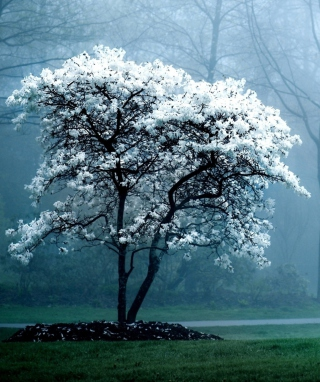 White Magnolia Tree - Obrázkek zdarma pro Nokia C1-02