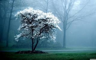 Free White Magnolia Tree Picture for Android, iPhone and iPad