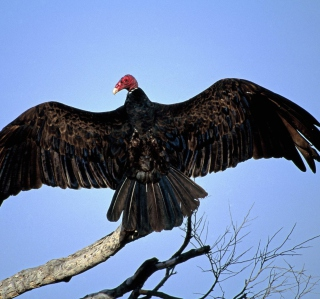 Turkey Vulture On Tree - Obrázkek zdarma pro 128x128