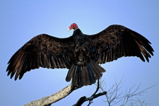 Turkey Vulture On Tree Wallpaper for Android, iPhone and iPad