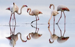 Flamingo - Obrázkek zdarma pro HTC Desire 310
