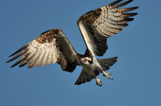 Osprey - Obrázkek zdarma pro 1024x768