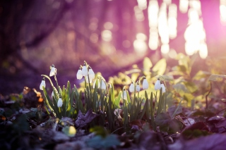 Free Snowdrops Picture for Android, iPhone and iPad