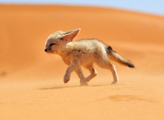Desert Wolf - Obrázkek zdarma pro Desktop 1280x720 HDTV