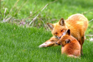 Free Foxes Playing Picture for Android, iPhone and iPad
