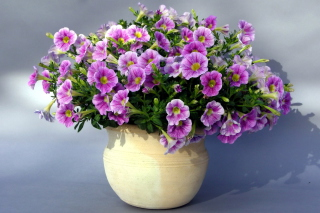 Purple Petunia Bouquet Background for Android, iPhone and iPad