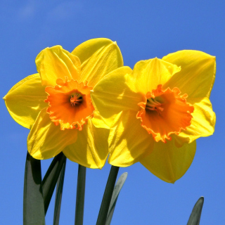Yellow Daffodils - Obrázkek zdarma pro 208x208