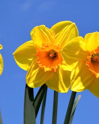 Yellow Daffodils - Obrázkek zdarma pro Nokia X1-00