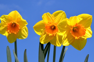 Yellow Daffodils Background for Android, iPhone and iPad