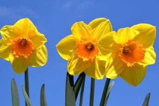 Yellow Daffodils - Obrázkek zdarma pro Samsung B7510 Galaxy Pro