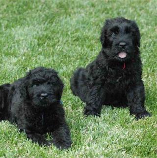 Black Russian Terrier - Obrázkek zdarma pro 2048x2048