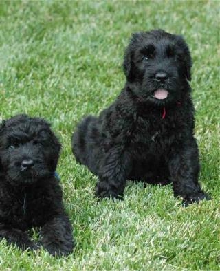 Black Russian Terrier - Obrázkek zdarma pro 360x480