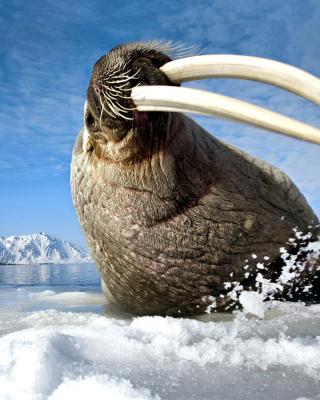 Walrus on ice floe - Obrázkek zdarma pro 132x176