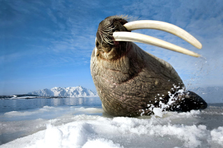 Walrus on ice floe Picture for Android, iPhone and iPad