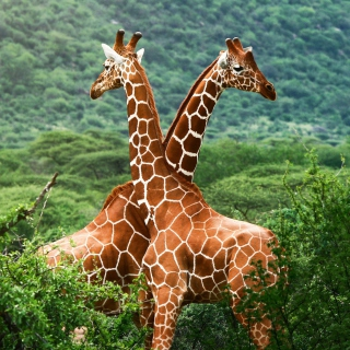 Giraffes - Obrázkek zdarma pro 320x320
