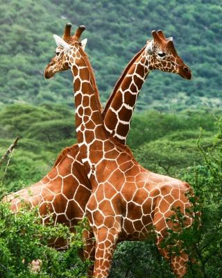 Giraffes - Obrázkek zdarma pro Nokia Asha 309