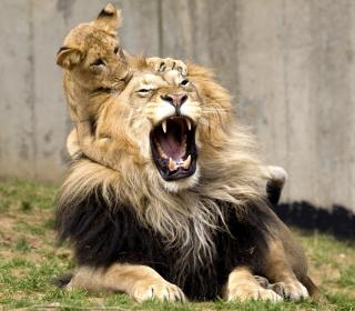 Lion Game - Obrázkek zdarma pro 1024x1024