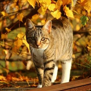 Tabby cat in autumn garden - Obrázkek zdarma pro 1024x1024
