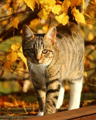 Tabby cat in autumn garden - Obrázkek zdarma pro iPhone 4S