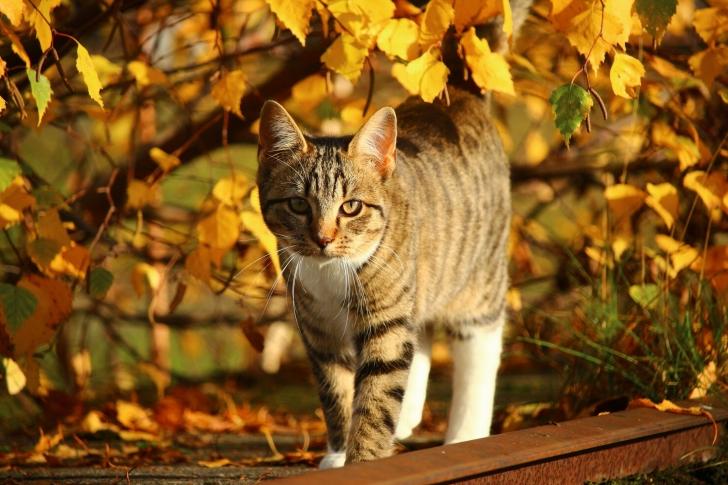 Tabby cat in autumn garden wallpaper