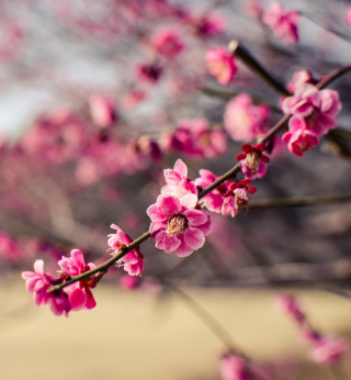Plum Tree Blossom - Obrázkek zdarma pro iPad