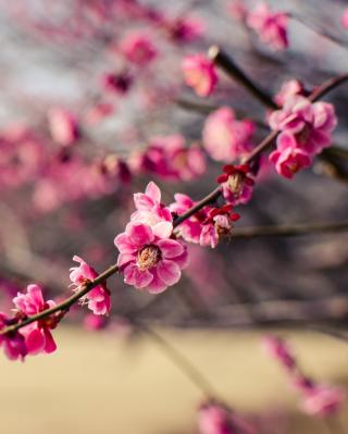Plum Tree Blossom - Obrázkek zdarma pro iPhone 5