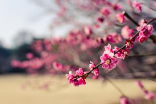 Plum Tree Blossom - Obrázkek zdarma pro HTC Hero