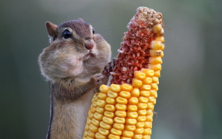 Chipmunk Background for Android, iPhone and iPad