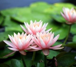 Pink Water Lilies - Obrázkek zdarma pro iPad mini