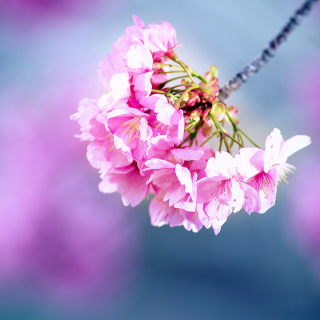 Cherry Blossom - Obrázkek zdarma pro 208x208