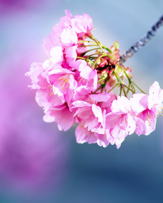 Cherry Blossom - Obrázkek zdarma pro 480x640