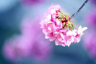 Cherry Blossom Wallpaper for Android, iPhone and iPad